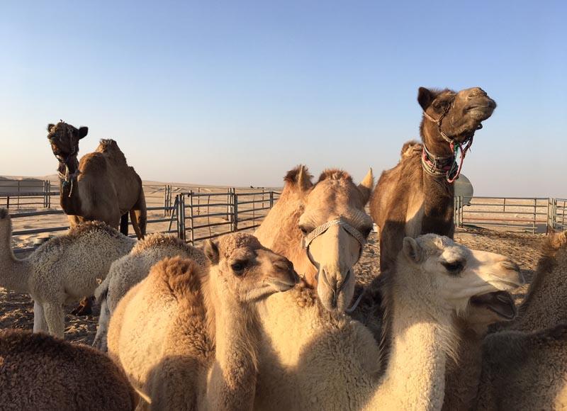 Découvrir le désert du Qatar